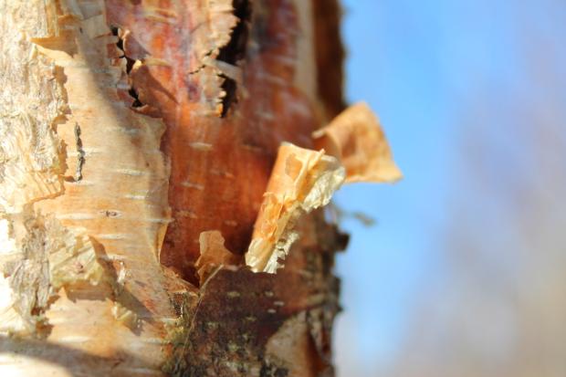 Bjørk med gyllen bark