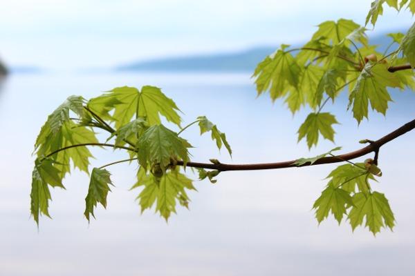 Unge grønne blader på lønnetre