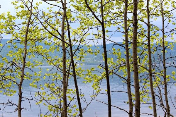 Vårskudd på unge trær