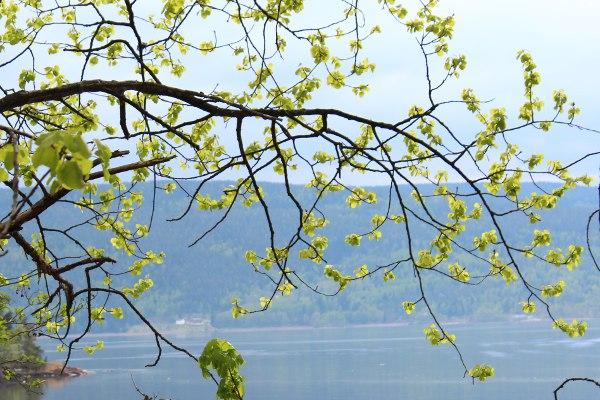 Vårskudd på trærne