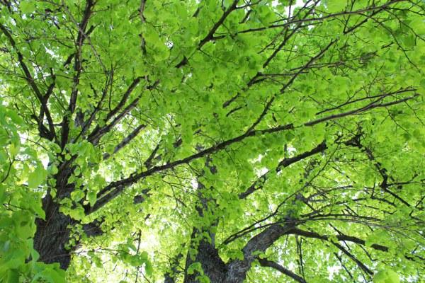 Grønne lindetrær på forsommeren