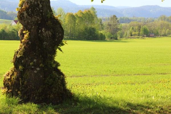 Lys grønne jordeer og gammel lind