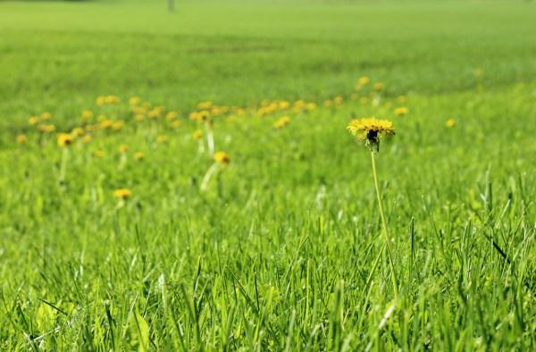 Grønt gress med gul løvetann