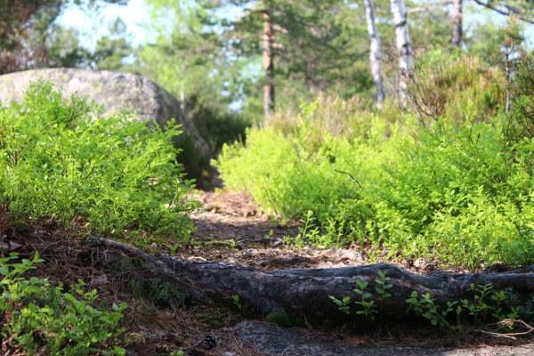 Sti i furuskogen ved stor stein