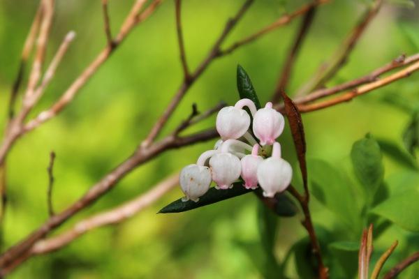 Tyttebærblomster