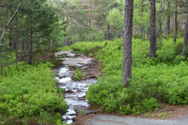 Sti i skogen med myrvann