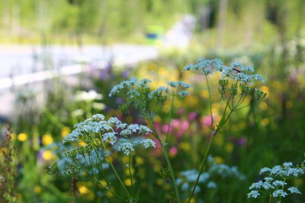 Blomster i veikanten