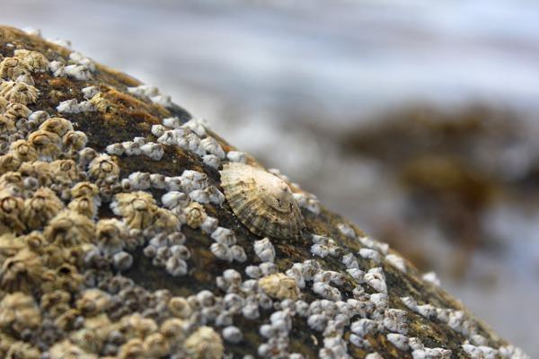 Stor stein med rur og albueskjell i sjøkanten