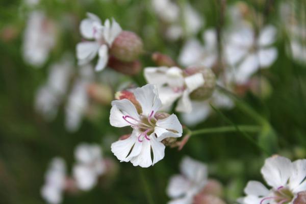 Hvite blomster i fjæra