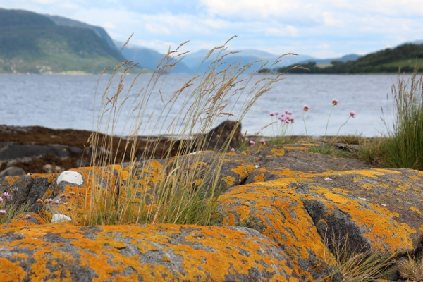 Gul messinglav i på berg ved Aresvikfjorden i Halsa