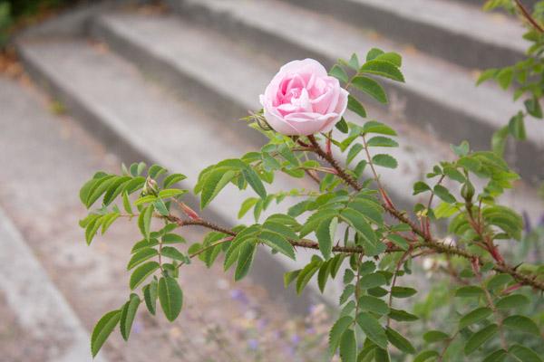 Rosa rose ved trapp 5