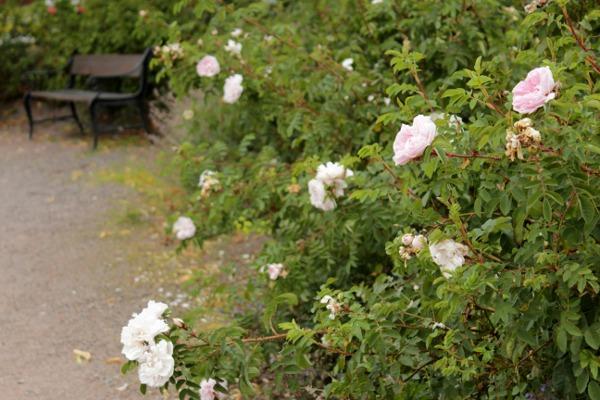 Hvite roser med benk i bakgrunn