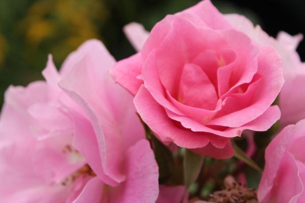 Rosa roser 1