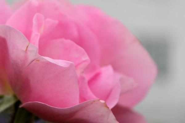 Rosa rose 4