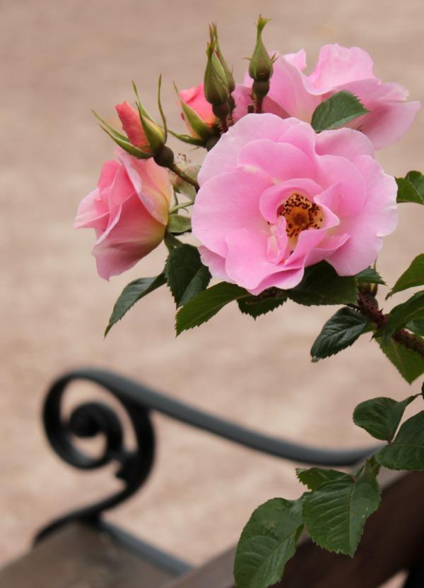 Lys rosa roser og benk