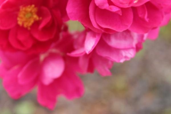 Rødrosa roser