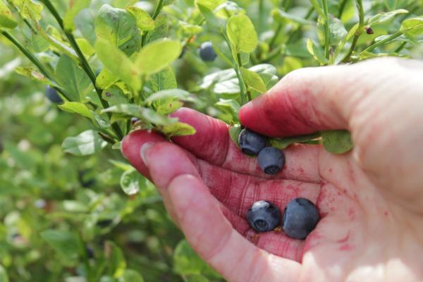 Plukker blåbær