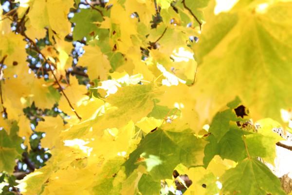 Høstfargede lønneblader i lysende gul og grønn