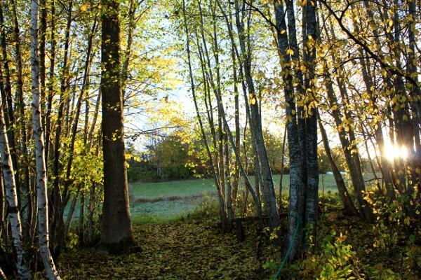 Høstskog i morgensol