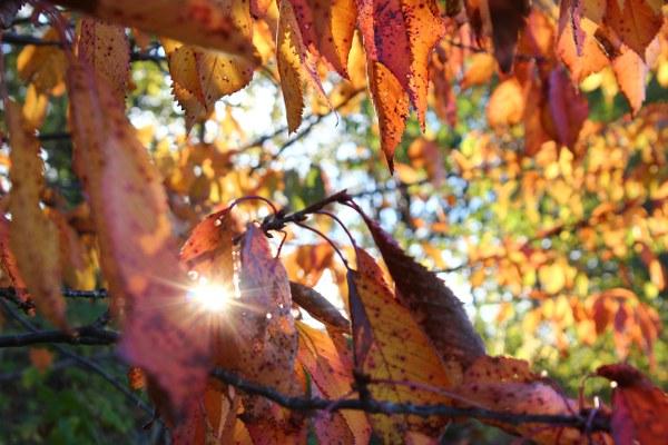Rødoransje blader i morgensol