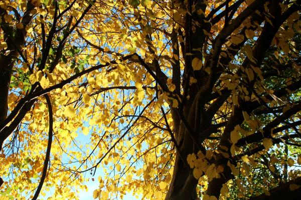 Tre med gule blader i morgensol
