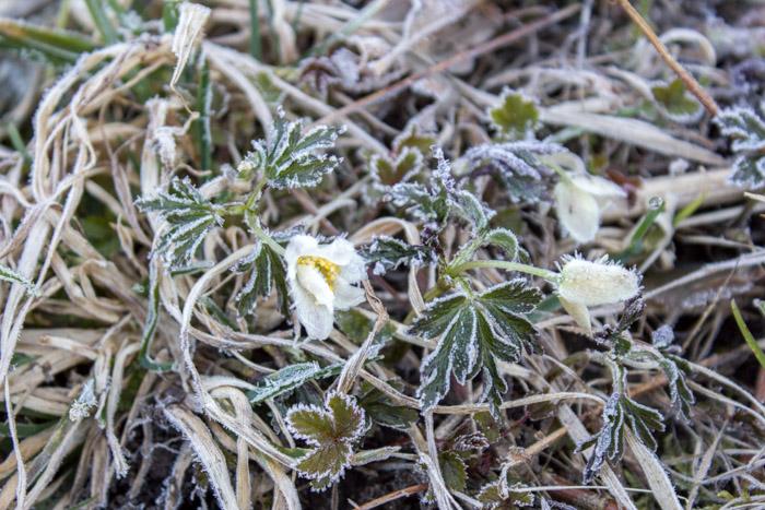 Hvitveis i frost og rim