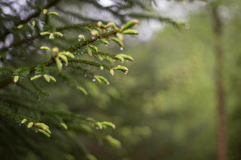Vårskog i regn-120-13