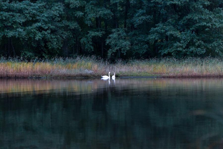 svanepar på vann siv kveld