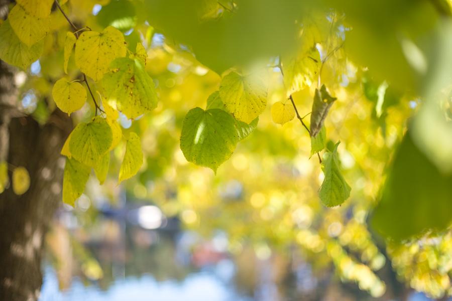 Lind blader høst
