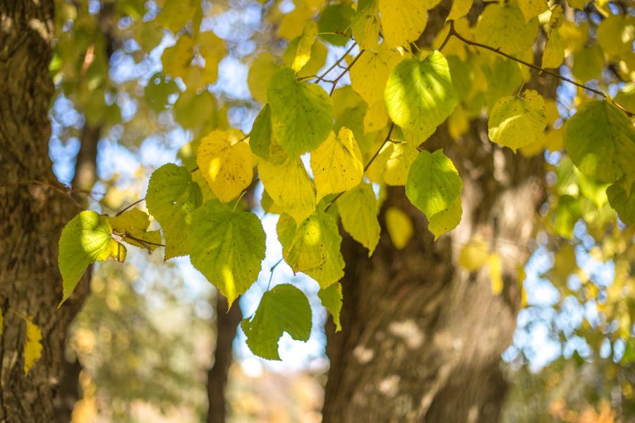 høst lind blader